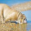 Stock Photo: Dog english bulldog looking at his reflection in sea