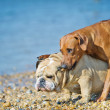 Two dogs friends playing at the beach — Stock Photo