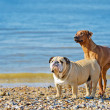 Two dogs friends playing at the beach — Stock Photo #27435471