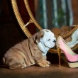 Cute english bulldog puppy with a sexy pink shoe — Stock Photo