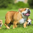 Stock Photo: Two Cute bulldog puppies following their mother