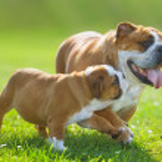 Cute bulldog puppy following its mother — Stock Photo