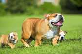 Two Cute bulldog puppies following their mother — Stock Photo