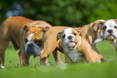 Beautiful Bulldog mother with her children puppies — Stock Photo