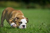 Schattig gelukkig bulldog pup spelen op verse zomer gras — Stockfoto