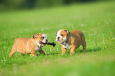 Cute happy english bulldog dog puppies playing outdoors — Stock Photo