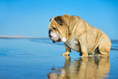 Funny dog english bulldog sitting in the water looking on his mi — Stock Photo