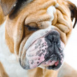 hond emoties - triest hond — Stockfoto