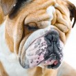 Dog emotions - sad dog — Stockfoto