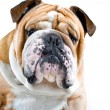 Dog emotions - curious dog — Stockfoto