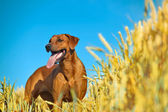 Dog in the rye wheaten field — Stock Photo