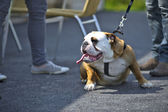 English Bulldog dog puppy outdoors — Stock Photo