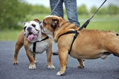 English Bulldogs dogs puppies meeting outdoors — Stock Photo