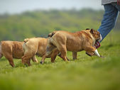 English Bulldogs dogs puppies playing outdoors — Stock Photo