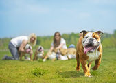 English Bulldog dog puppy running towards the camera — Stock Photo