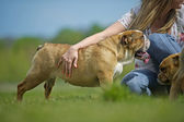 Owner hugging her english bulldog dog puppy — Stock Photo