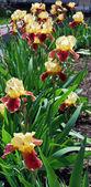 Beautiful irises — Stock Photo