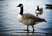 Canada Geese in Hyde Park — Stock Photo