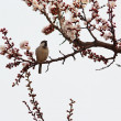 Sparrow sitting on spring flowering twigs of apricot — Stock Photo