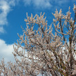 Spring flowering apricot tree against background of the cloudy blue sky — Stock Photo #24208335