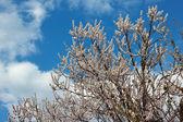 Lente bloeiende abrikoos boom tegen de achtergrond van de helder blauwe hemel — Stockfoto