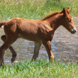 Stock Photo: Young colt walking around small summer pond