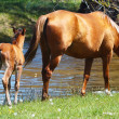 Mare with young foal in meadow near river — Stock Photo #25205051