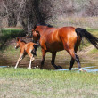 Mare with young foal running along the river — Stock Photo