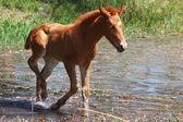 Malé krásné hříbě přichází do vody rybníka letní — Stock fotografie