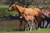 Horses with a young colt go through meadow along the river — Stock Photo
