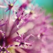 Beautiful simple spring blooming purple allium flower closeup — Stock Photo