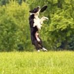 Black and white border collie — Stock Photo #29507171