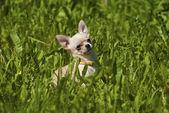 Szczeniak chihuahua — Zdjęcie stockowe