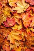 Autumn background with maple leaves — Stock Photo