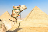 Camel at Giza pyramides, Cairo, Egypt. — Stock Photo