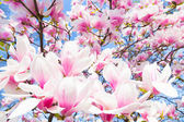 Magnolia tree blossom. — Stock Photo