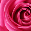 Macro image of beautiful rose — Stock Photo