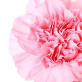 Cravo rosa — Fotografia Stock