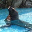 Stock Photo: Steller sealion
