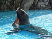Steller sealion — Stock Photo