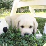 Puppy labrador — Stock Photo