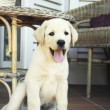 Puppy labrador — Stock Photo