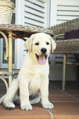 Labrador puppy — Stockfoto