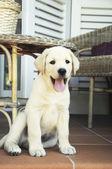 Szczeniak labrador — Zdjęcie stockowe