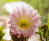 Bright and sunny cactus flower — Stock Photo
