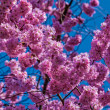 Stock Photo: Oriental cherry