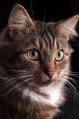 Siberian cat. — Stock Photo