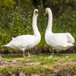 Royalty-Free Stock Photo: Swans