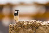 Type of sparrow. — Stock Photo