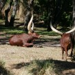 Ankole Longhorn Cattle Ankole cow with huge horns - Stock Photo